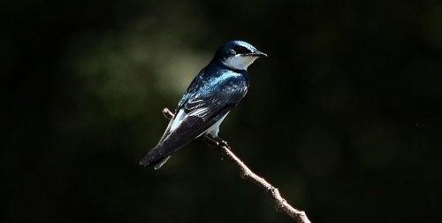 Kingfisher, Caño Negro, Costa Rica.