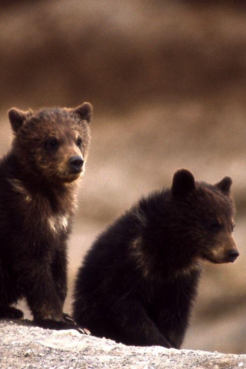 Cute grizzly bear cubs. | I heart bears! | Pinterest