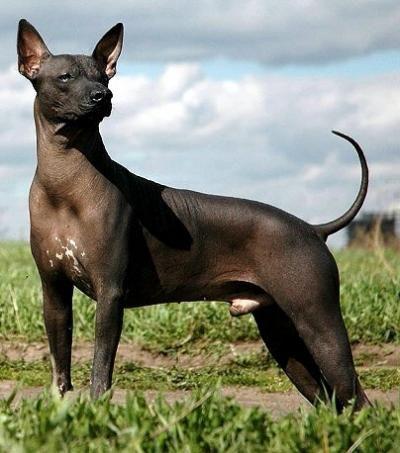 Xoloitzcuintli - Interesting Facts   Netscype Geographic   Dogs Xoloitzcuintli
