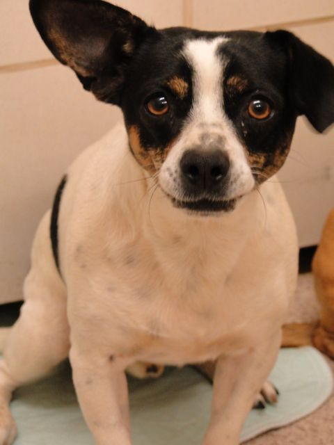 22117677 DH205 Chihuahua Mix • Adult • Male • Small Arlington ...