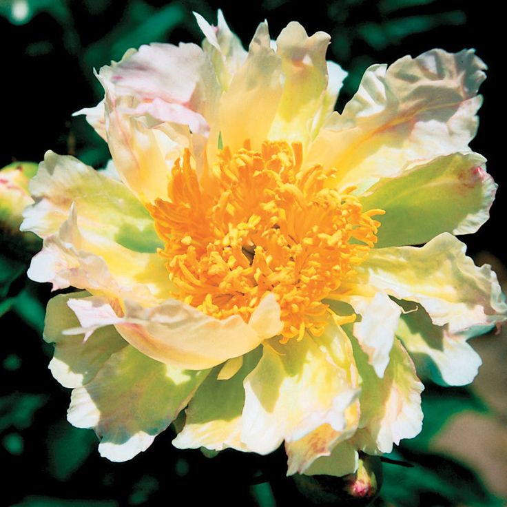 Green Lotus Paeonia Peony