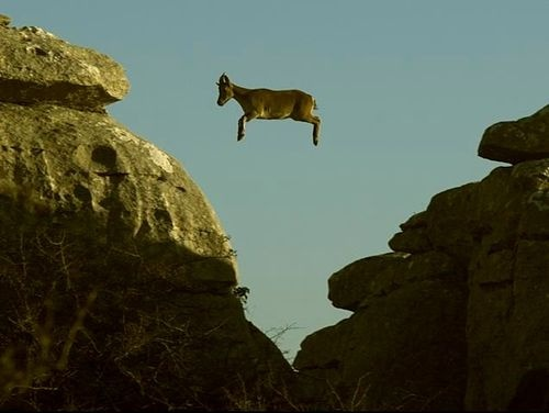 Mountain Goat Jumping Off Cliff