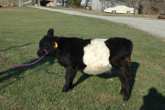 Belted Galloway calf | On The Farm | Pinterest