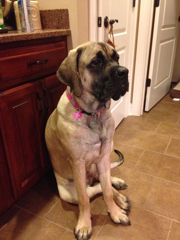 Search Old English Mastiff Puppies For Sale
