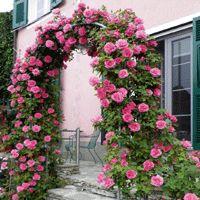 c49d39400e9e85089a992e9cadeaf55d jpgZephirine Drouhin Rose