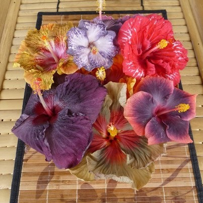 The variation seen in tropical Hibiscus is amazing!