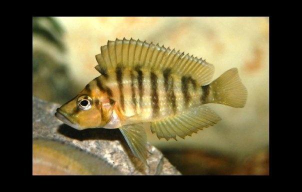 Lake tanganyika cichlids essence of eden iv aquarium for Lake tanganyika fish
