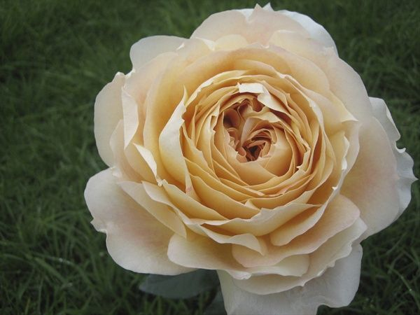 Carmel Antike Garden Rose. Champagne colored rose with high petal ...