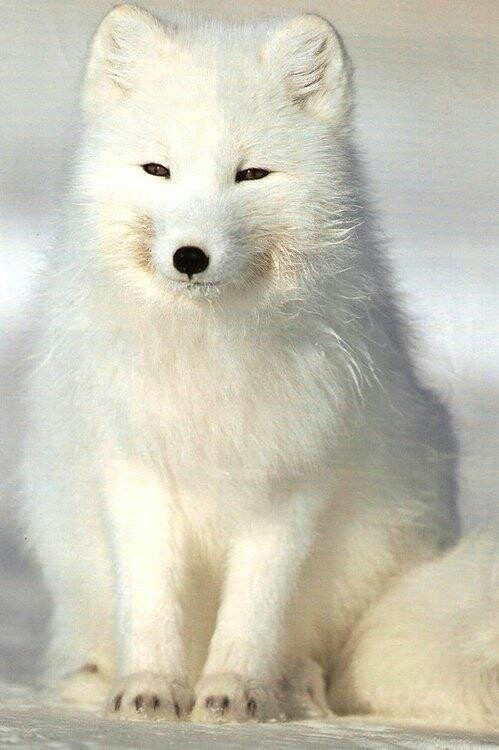 arctic fox cute white - photo #16