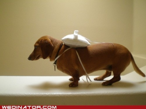 Ring bearer--I am going to train Jetta to do this. I swear.