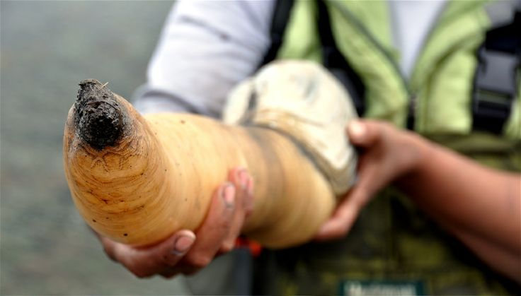 Fat of the Land: geoduck