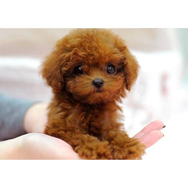 Red Teacup Poodle Puppy Red teacup poodle