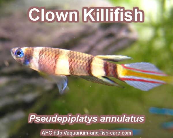 Clown Killifish Freshwater Aquarium Fish - Aquariumfische Pinter ...