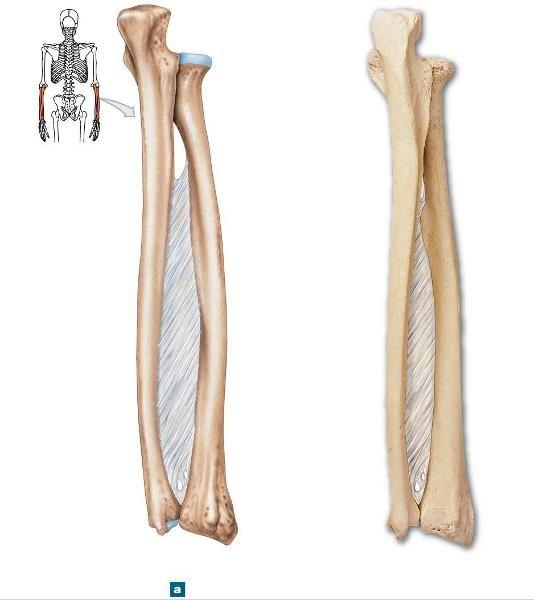 Ulna Radius Anatomy Image Collections Human Body Anatomy