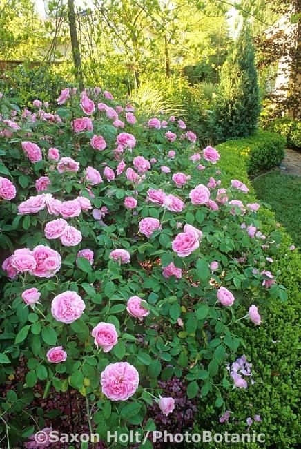 gertrude jekyll rose home sweet home pinterest. Black Bedroom Furniture Sets. Home Design Ideas