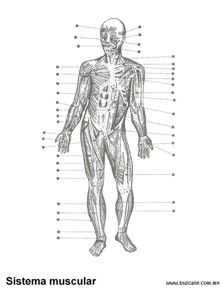 Lujoso Diagrama Del Sistema Muscular Marcada Elaboración - Anatomía ...