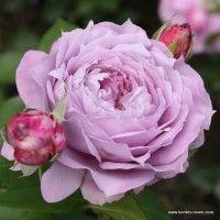 poseidon kordes shrub rose a rose is a rose is a. Black Bedroom Furniture Sets. Home Design Ideas