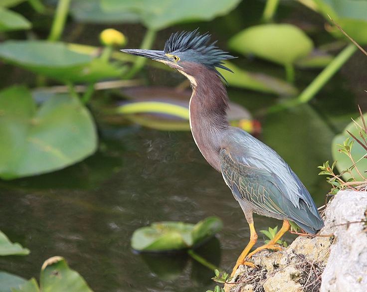 Green Heron (Florida, USA) | Florida - Birds | Pinterest