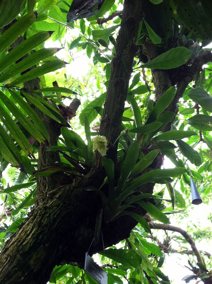 Calabash is a fascinating plant in terms of its flowering and fruiting. It has cauliflorous flowers, which means that the flowers are attached directly to the trunk and the main stems of this small understory tree.
