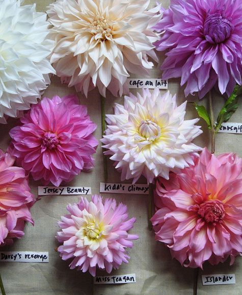 In love with summer dahlias