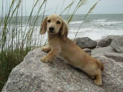 English cream dachshund