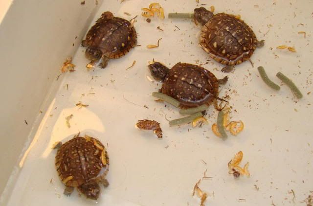 Baby Box Turtles. Turtles... Pinterest