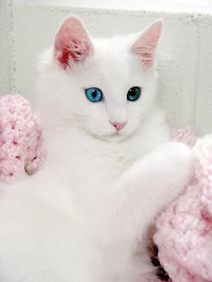 Turkish Angora - Gorgeous Kitty !