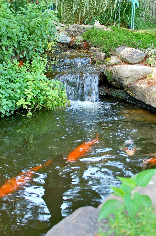 Koi pond featuring a tranquil waterfall koi turtles for Koi pond waterfall