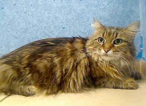 Center myrtle id a0923136 myrtle a0923136 7 yr spayed maine coon