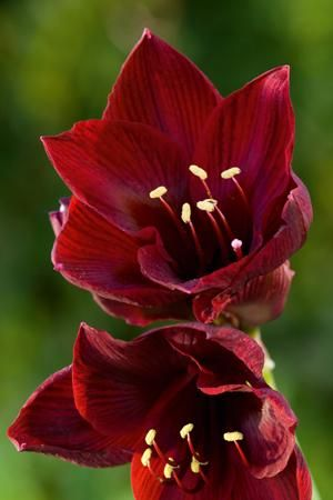 Amaryllis 'Royal Velvet' in full bloom