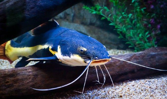 Catfish Under the Sea Pinterest