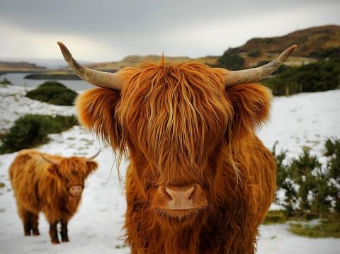 scottish highland cattle snow  Highland Cattle - Scotland. They