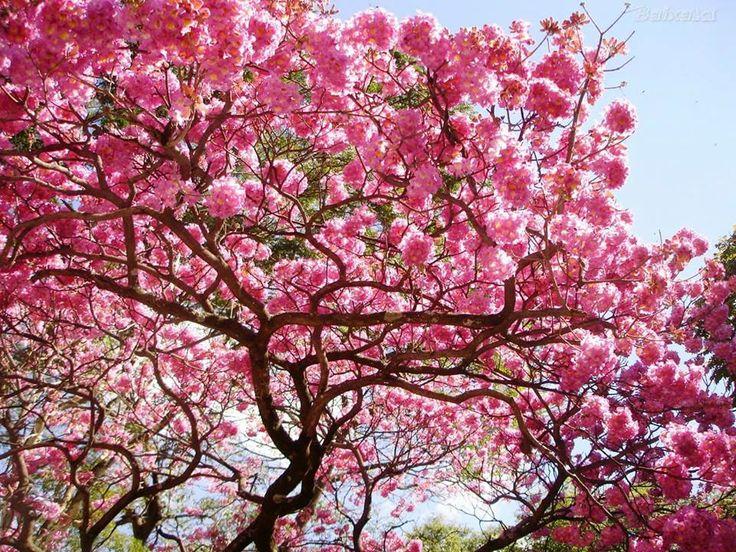 ipe de jardim familia: de-folha-larga, pau-d'arco-roxo, pau-cachorro, ipê-de-minas, piúna e