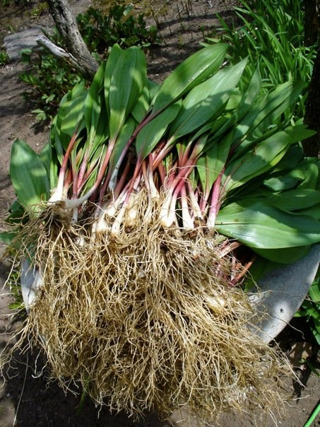 Wild Leeks aka Ramps | Cottage Garden Woodland Flora & Fauna 2009 - P ...
