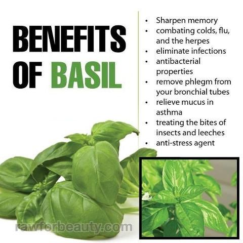 Amazing benefits of tulsi basil basil is very beneficial in combating
