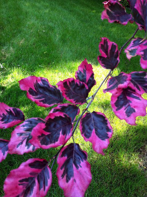 Tri color beech tree trees pinterest