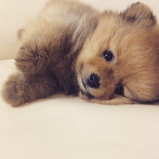 Brown teddy bear pomeranian