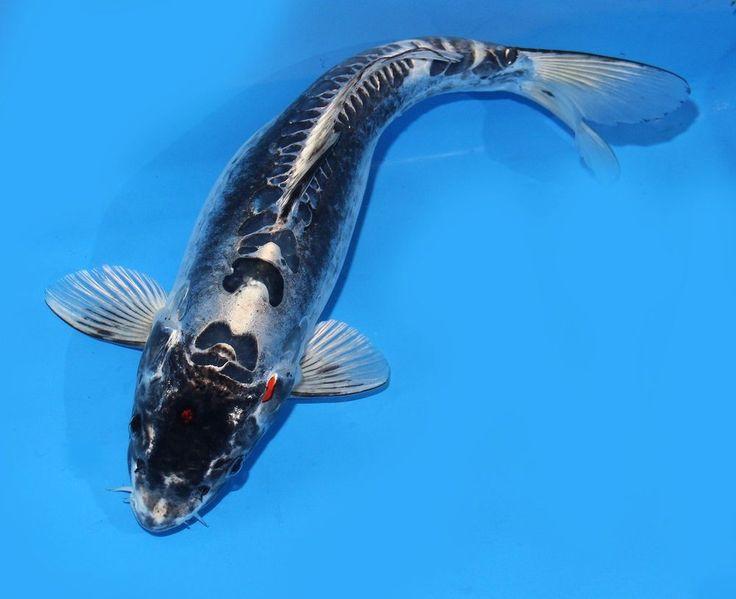 Live koi fish 14 black kikokuryu ghost koibay for Black coy fish