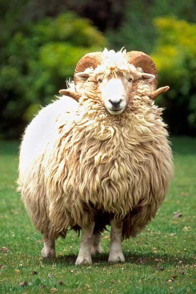 Ram Animal Google Search Animal Brethren Pinterest