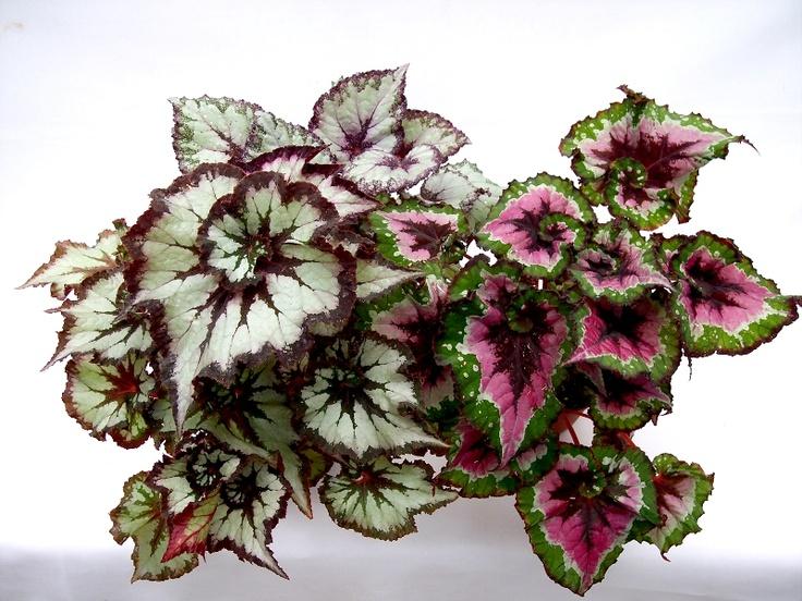 Rex begonia pet safe plants pinterest for Easy houseplants safe for pets
