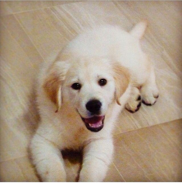 Our baby Golden Retriever, Maxx | Typically Golden | Pinterest Golden Retriever And Baby