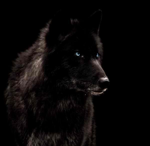Sad black wolf