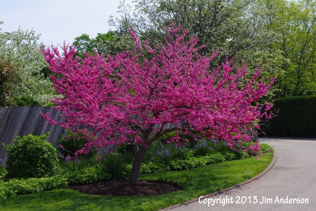 More smaller shade trees for your yard plants trees for Trees for small yards