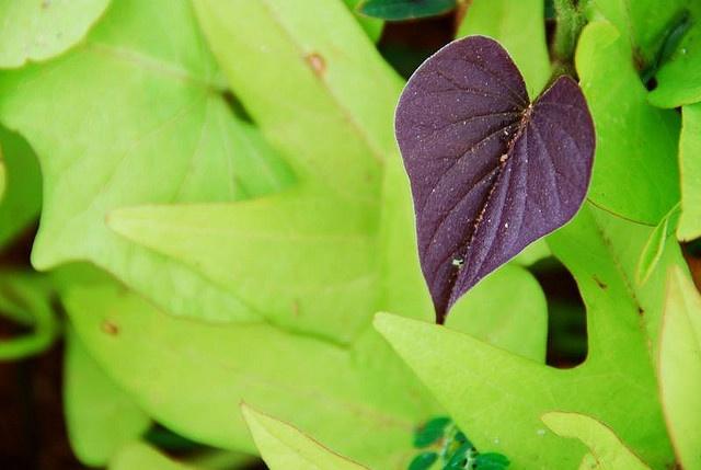 Purple heart (Yam leaves)