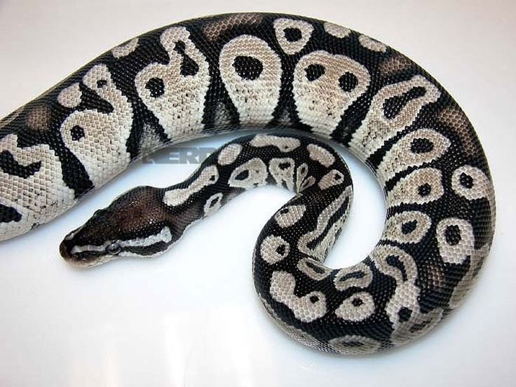 Axanthic Pastel Ball Python | Beautiful Creatures | Pinterest