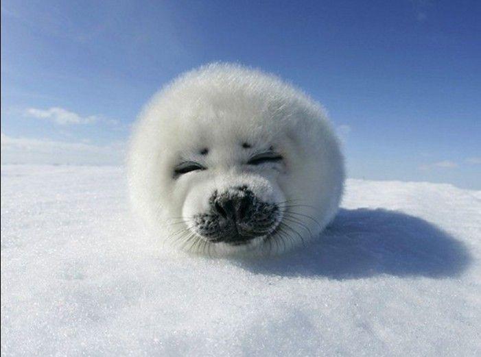 Cute Baby Harp Seal baby harp seal | fuzzy...