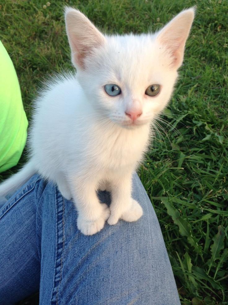 white longhair cat