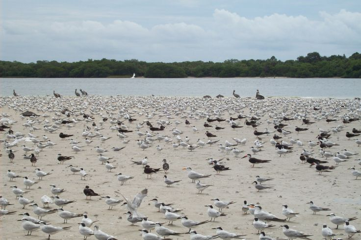 By susanna parrish allen on kayaking fort desoto shell island t