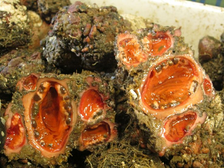 Pyura Chilensis (The Living Rock): It can be difficult to ...
