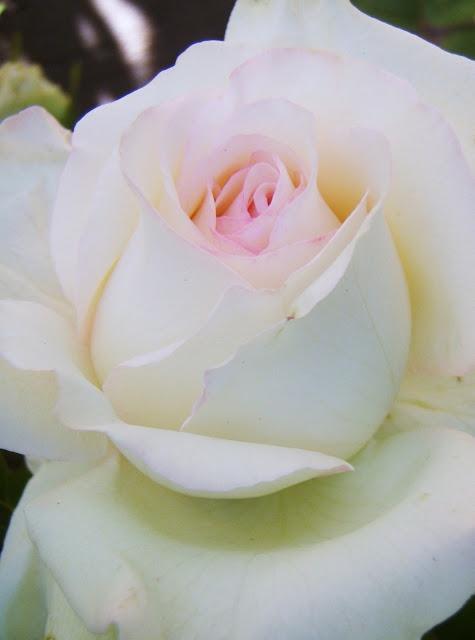 brides dream roses